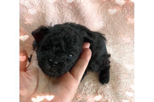 トイプードルの子犬(ID:1271311042)の1枚目の写真/更新日:2021-02-21