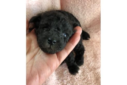 トイプードルの子犬(ID:1271311042)の3枚目の写真/更新日:2021-02-21