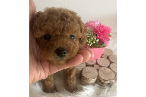 トイプードルの子犬(ID:1271311043)の1枚目の写真/更新日:2021-08-19