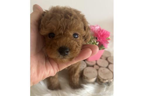 トイプードルの子犬(ID:1271311043)の2枚目の写真/更新日:2021-08-19
