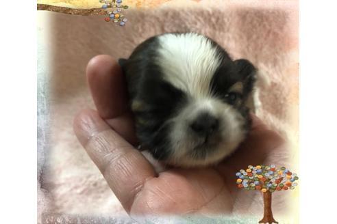 シーズーの子犬(ID:1271311046)の1枚目の写真/更新日:2020-12-12