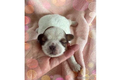 シーズーの子犬(ID:1271311049)の1枚目の写真/更新日:2021-09-11