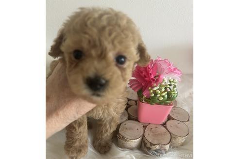 トイプードルの子犬(ID:1271311050)の1枚目の写真/更新日:2021-08-19