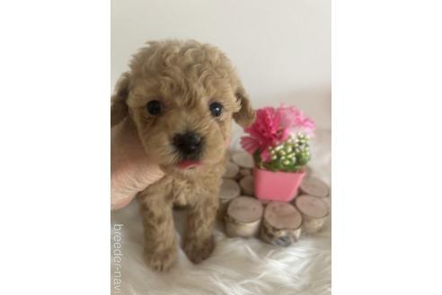 トイプードルの子犬(ID:1271311050)の2枚目の写真/更新日:2021-08-19