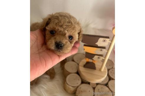 トイプードルの子犬(ID:1271311050)の3枚目の写真/更新日:2021-08-19