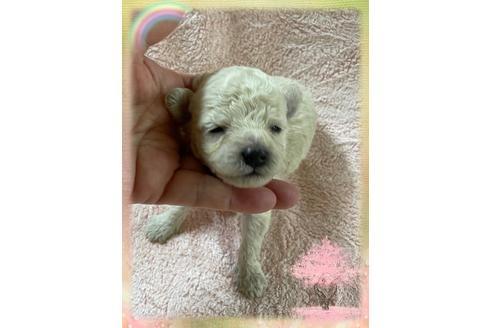 トイプードルの子犬(ID:1271311051)の1枚目の写真/更新日:2021-04-20
