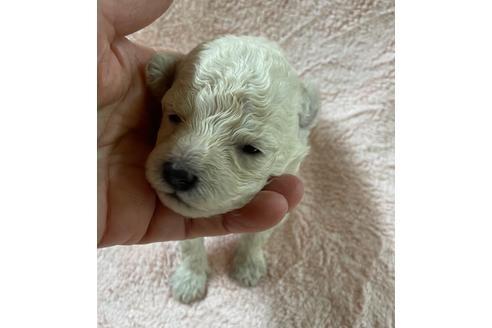 トイプードルの子犬(ID:1271311051)の3枚目の写真/更新日:2021-04-20