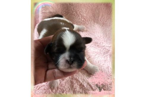 シーズーの子犬(ID:1271311056)の1枚目の写真/更新日:2020-12-25