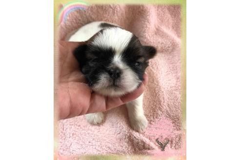 シーズーの子犬(ID:1271311062)の1枚目の写真/更新日:2021-02-01