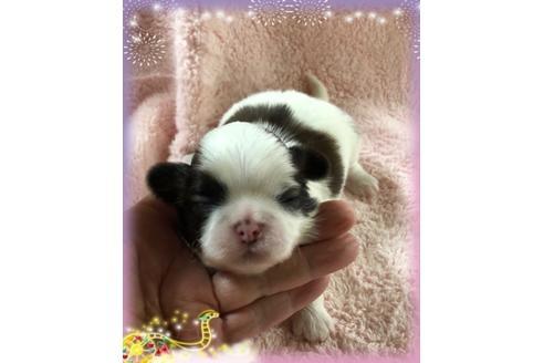 シーズーの子犬(ID:1271311064)の1枚目の写真/更新日:2020-12-25