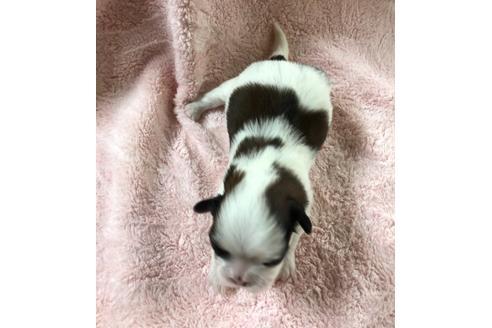 シーズーの子犬(ID:1271311064)の2枚目の写真/更新日:2020-12-25