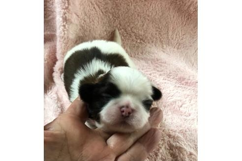 シーズーの子犬(ID:1271311064)の3枚目の写真/更新日:2020-12-25