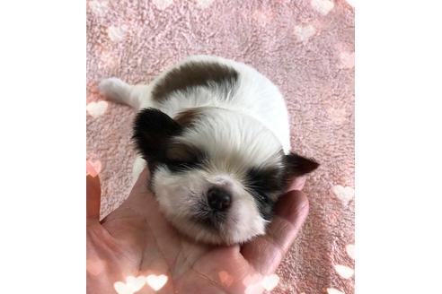 シーズーの子犬(ID:1271311065)の1枚目の写真/更新日:2021-02-01