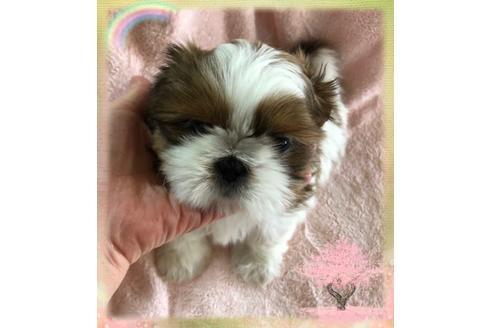 シーズーの子犬(ID:1271311066)の1枚目の写真/更新日:2021-02-01