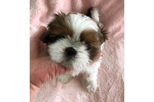 シーズーの子犬(ID:1271311066)の2枚目の写真/更新日:2021-02-01