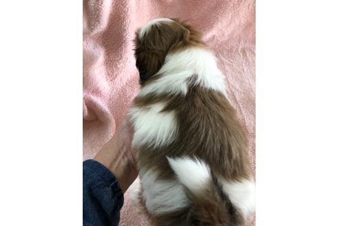 シーズーの子犬(ID:1271311066)の3枚目の写真/更新日:2021-02-01