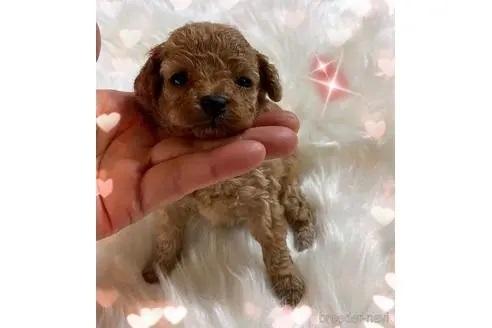 トイプードルの子犬(ID:1271311070)の1枚目の写真/更新日:2020-10-23