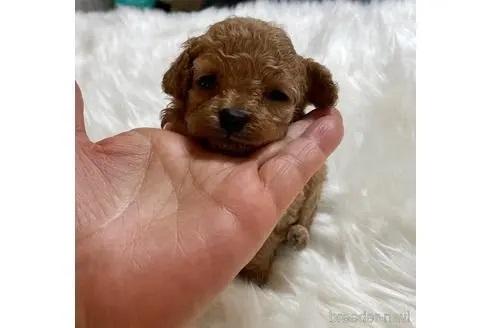 トイプードルの子犬(ID:1271311070)の3枚目の写真/更新日:2021-04-29