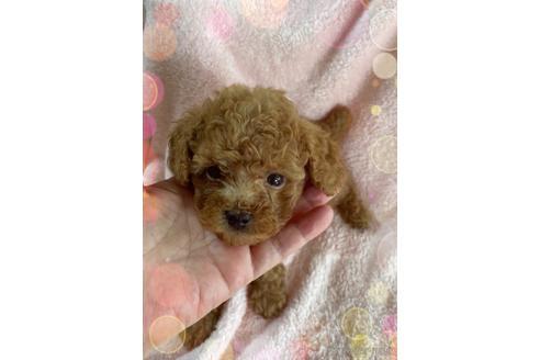 トイプードルの子犬(ID:1271311076)の1枚目の写真/更新日:2020-10-24