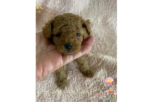 トイプードルの子犬(ID:1271311076)の2枚目の写真/更新日:2021-08-19