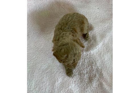 トイプードルの子犬(ID:1271311076)の3枚目の写真/更新日:2021-08-19