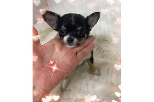 チワワ(ロング)の子犬(ID:1271311079)の1枚目の写真/更新日:2020-12-04