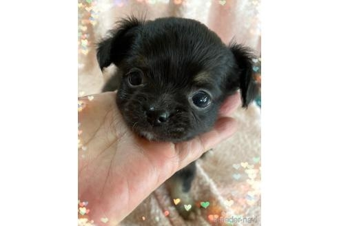 チワワ(ロング)の子犬(ID:1271311082)の1枚目の写真/更新日:2021-07-26