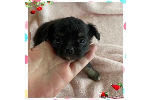 チワワ(ロング)の子犬(ID:1271311082)の2枚目の写真/更新日:2021-07-26