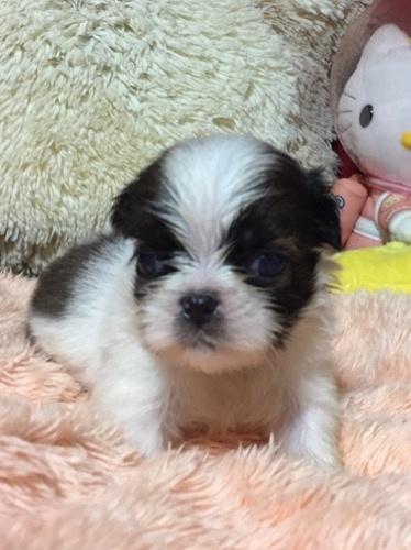 シーズーの子犬(ID:1271311086)の2枚目の写真/更新日:2019-11-06