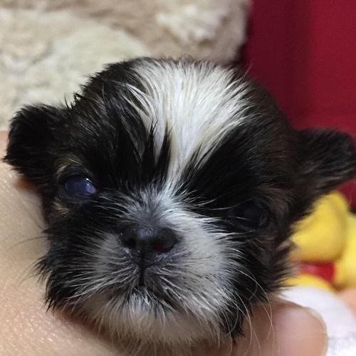 シーズーの子犬(ID:1271311087)の1枚目の写真/更新日:2019-11-06
