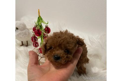 トイプードルの子犬(ID:1271311089)の1枚目の写真/更新日:2020-10-07
