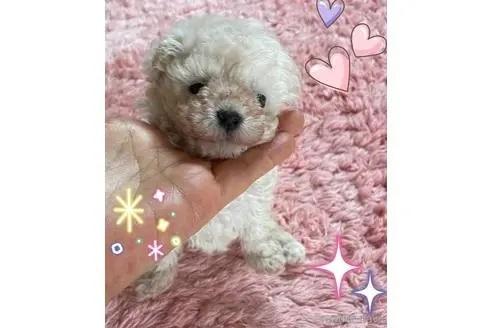 トイプードルの子犬(ID:1271311090)の1枚目の写真/更新日:2021-04-20