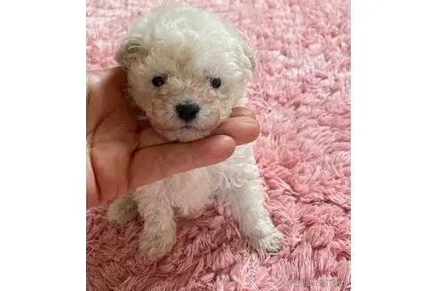 トイプードルの子犬(ID:1271311090)の2枚目の写真/更新日:2021-04-20