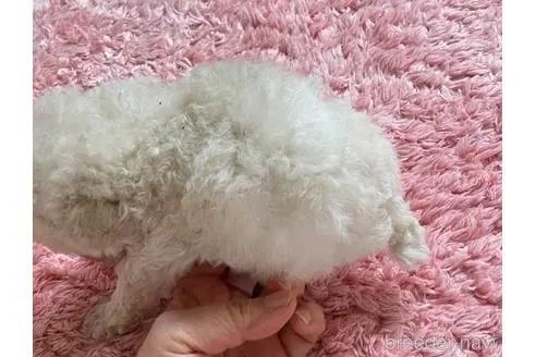 トイプードルの子犬(ID:1271311090)の3枚目の写真/更新日:2021-04-20