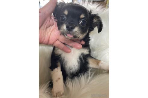 チワワ(ロング)の子犬(ID:1271311091)の2枚目の写真/更新日:2021-07-26