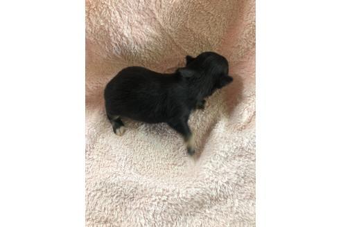 チワワ(ロング)の子犬(ID:1271311092)の2枚目の写真/更新日:2020-12-04