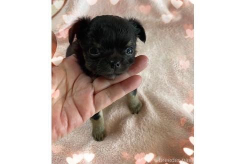 チワワ(ロング)の子犬(ID:1271311093)の1枚目の写真/更新日:2021-07-31