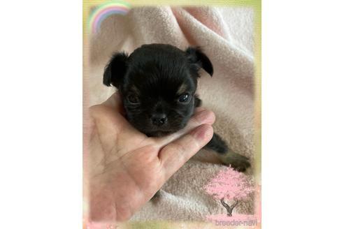 チワワ(ロング)の子犬(ID:1271311093)の2枚目の写真/更新日:2021-07-31