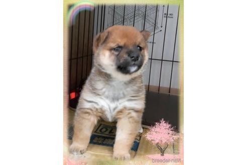 柴犬の子犬(ID:1271311099)の1枚目の写真/更新日:2020-12-29