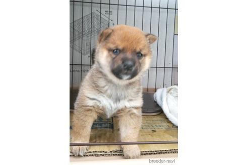 柴犬の子犬(ID:1271311099)の2枚目の写真/更新日:2020-12-29
