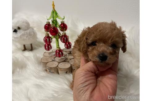 トイプードルの子犬(ID:1271311100)の1枚目の写真/更新日:2021-02-04