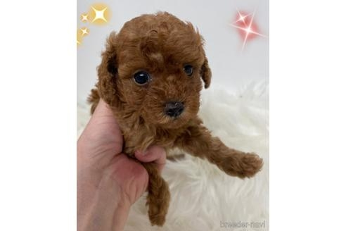トイプードルの子犬(ID:1271311101)の1枚目の写真/更新日:2021-04-29