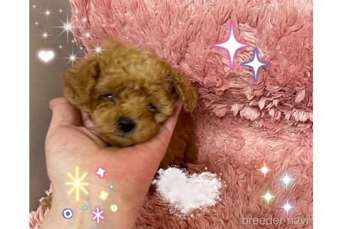 トイプードルの子犬(ID:1271311102)の1枚目の写真/更新日:2021-04-29