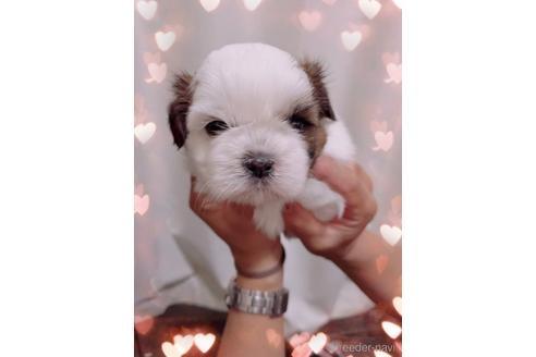 シーズーの子犬(ID:1271311104)の1枚目の写真/更新日:2021-07-31