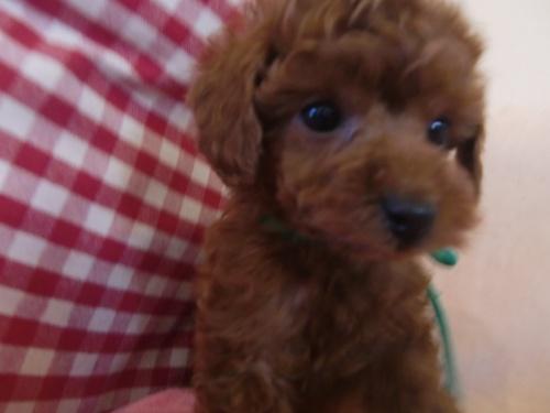トイプードルの子犬(ID:1271411001)の1枚目の写真/更新日:2018-01-19