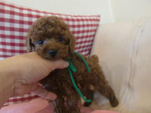 トイプードルの子犬(ID:1271411001)の2枚目の写真/更新日:2018-01-19