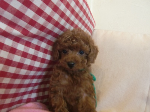 トイプードルの子犬(ID:1271411001)の3枚目の写真/更新日:2018-01-19