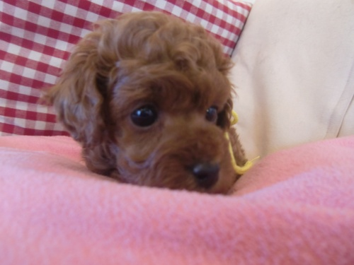 トイプードルの子犬(ID:1271411002)の2枚目の写真/更新日:2018-01-19