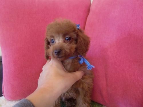 トイプードルの子犬(ID:1271411004)の1枚目の写真/更新日:2018-09-21