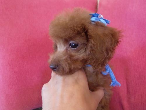 トイプードルの子犬(ID:1271411004)の2枚目の写真/更新日:2018-12-15